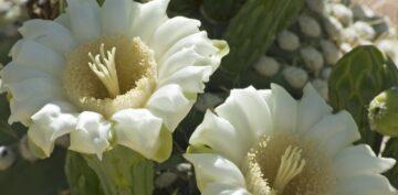 Kwiat Mahameru kwitnie raz na 400 lat?