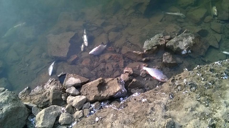 martwe ryby w płocku