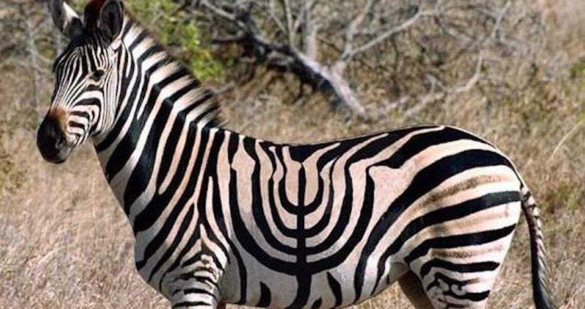 Czy to jest zebra z paskami w kształcie menory?