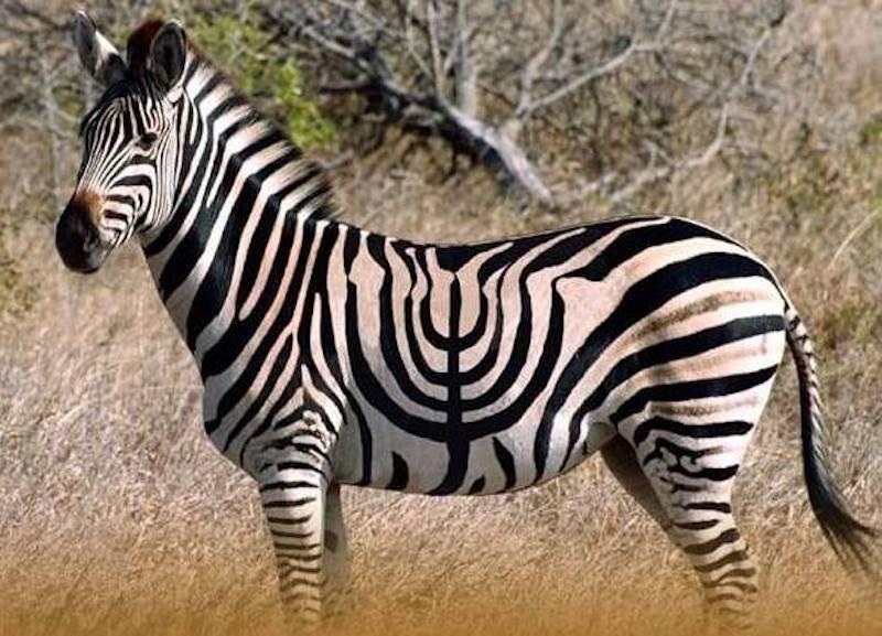 Zebra menora