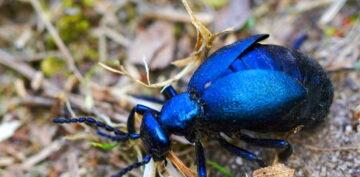 Nie, ten owad nie może zabić człowieka